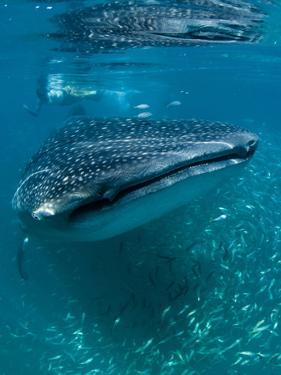 Scientist and Whale Shark (Rhincodon Typus) Feeding at the Surface by Louise Murray