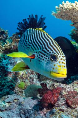 Striped Sweetlips (Diagonal Banded Sweetlips) (Plectorhinchus Lineatus) by Louise Murray