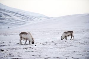 Svalbard Reindeer (Rangifer Taradus Spp. Platyrhynchus) Grazing in Winter by Louise Murray