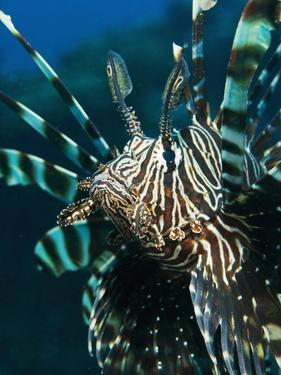 The Highly Venomous Lionfish or Devil Filefish (Pterois Miles) by Louise Murray