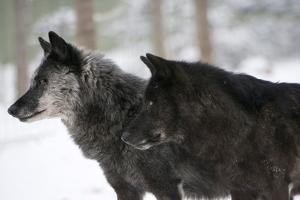 Two Black Melanistic Variants of North American Timber Wolf (Canis Lupus) in Snow, Austria, Europe by Louise Murray