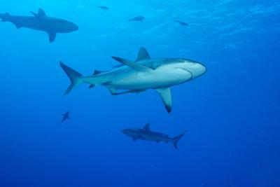 Whitetip Reef Shark (Triaenodon Obesus) Is a Requiem Shark in the Genus Carcharinidae