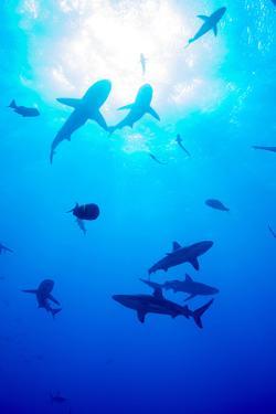 Whitetip Reef Shark (Triaenodon Obesus) by Louise Murray