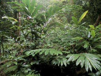 Broad Leaved Plants and Ferns Grow at Base of Dipterocarp Rainforest, Danum Valley, Malaysia by Lousie Murray