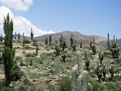 Cardones Growing in the Altiplano Desert Near Tilcara, Jujuy, Argentina, South America by Lousie Murray