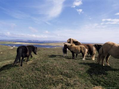 Groups of Shetland Ponies Graze the Moors of Yell, Shetlands, Scotland, United Kingdom by Lousie Murray