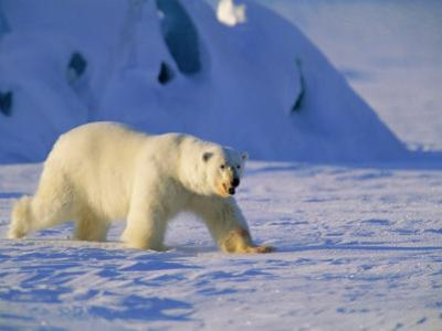 Male Polar Bear(Ursus Maritimus) in Spring, Svalbard/Spitsbergen, Arctic by Lousie Murray