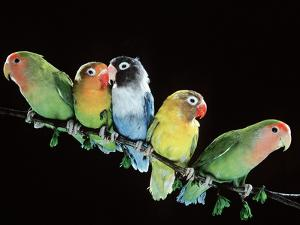 Lovebirds X Five on Branch