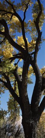 Low angle view of a cottonwood tree, New Mexico, USA