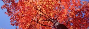Low Angle View of a Maple Tree, Acadia National Park, Mount Desert Island, Maine, USA
