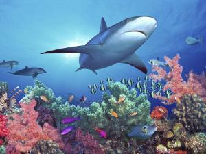 Low Angle View Of A Shark Swimming Underwater Indo Pacific Ocean