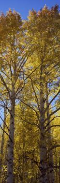 Low Angle View of Aspen Trees, Telluride, San Miguel County, Colorado, USA