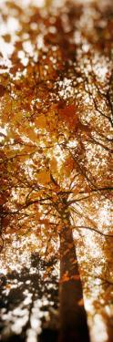 Low Angle View of Autumn Trees, Volunteer Park, Capitol Hill, Seattle, King County, Washington