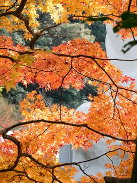 Low Angle View of Fall Leaves on Maple Tree at Kodaiji Temple, Kyoti Prefecture, Japan