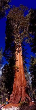Low angle view of Sequoia tree in forest, California, USA