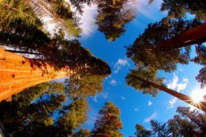 Low angle view of Sequoia trees in forest, California, USA