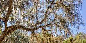 Low angle view of Spanish Moss tree (Tillandsia usneoides), Florida, USA