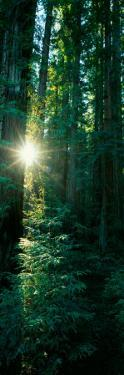 Low Angle View of Sunstar Through Redwood Trees, Jedediah Smith Redwoods State Park, California