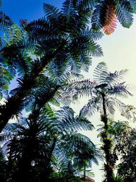 Low angle view of West Indian treefern (Cyathea arborea), Papillote Wilderness Retreat, Dominica