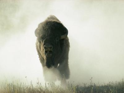 Bison Kicking up Dust by Lowell Georgia