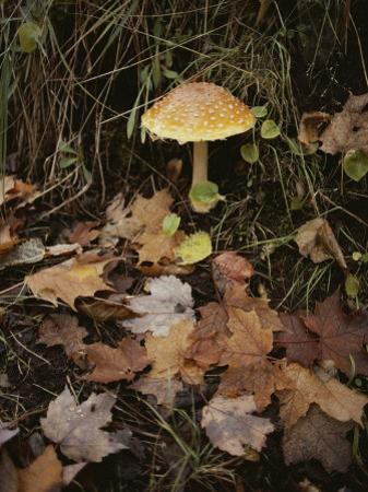 Maple Leaves Frame a Fly Agaric Mushroom by Lowell Georgia