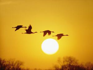 Silhouetted Sandhill Cranes against a Setting Sun by Lowell Georgia