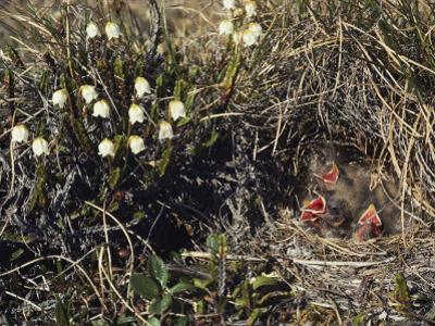 The Lack of Trees Doesnt Deter Lapland Longsupurs, Who Prefer to Make Nests in Tundra Grass by Lowell Georgia