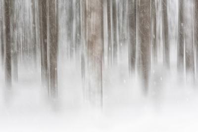 Italy, Friuli Venezia Giulia, Forest in the Snow by Luciano Gaudenzio