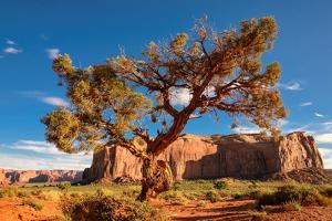 Lonely Tree Still a Life in Monument Valley, Utah by lucky-photographer