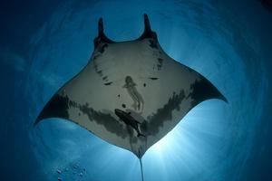 Manta Ray of Revillagigedo by Luis Javier Sandoval