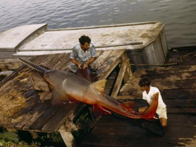 Man and Boy Inspect a Sawfish Caught in Lake Nicaragua