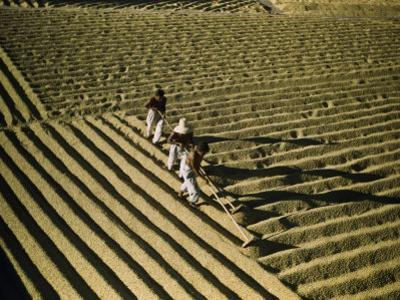 Men Spread Coffee Beans in Furrows to Dry in the Sun