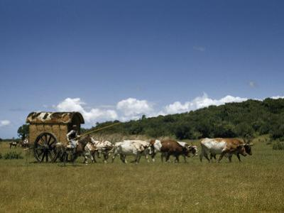 People, Oxen, and Horses Reenact Frontier Scene of Travel by Coach
