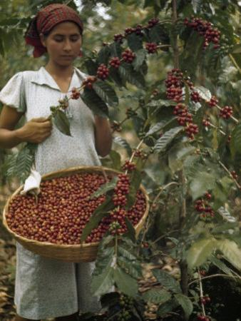 Woman Picks Ripe Red Coffee Berries, Leaving Green Ones to Ripen