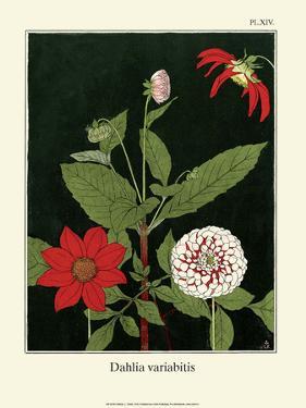 Botanical Print, Dahlias, 1905 by Luite Klaver