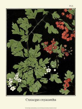 Botanical Print, Hawthorn, 1905 by Luite Klaver