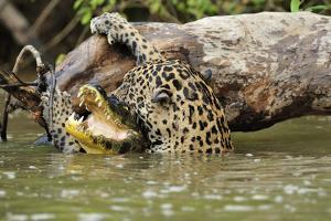 Jaguar killing Spectacled caiman in Piquiri River, Pantanal Mato Grosso, Brazil by Luiz Claudio Marigo