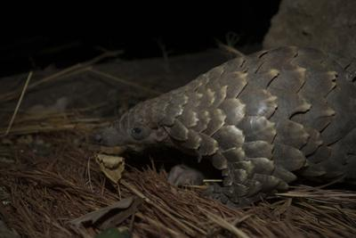 Cape Pangolin (Smutsia Temminckii) Foraging at Night. South Luangwa National Park, Zambia by Luke Massey