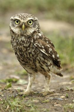 Little Owl (Athene Noctua) on the Ground, Essex, England, UK, June by Luke Massey