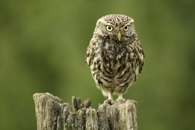Little Owl (Athene Noctua) Perched on a Post, Essex, England, UK, June by Luke Massey