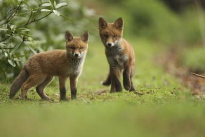 Red Fox (Vulpes Vulpes) Cubs, Hertfordshire, England, UK, May by Luke Massey