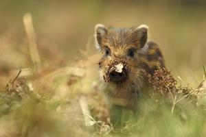 Wild Boar Piglet with Leaf Stuck on its Nose, Forest of Dean, Gloucestershire, England, UK by Luke Massey