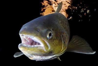 Atlantic Salmon (Salmo Salar) Female, River Orkla, Norway, September 2008 by Lundgren