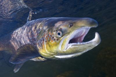 Atlantic Salmon (Salmo Salar) Male, River Orkla, Norway, September 2008