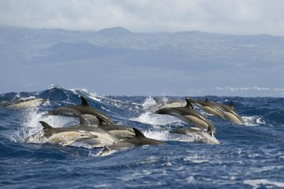 Common Dolphins (Delphinus Delphis) Porpoising, Pico, Azores, Portugal, June 2009