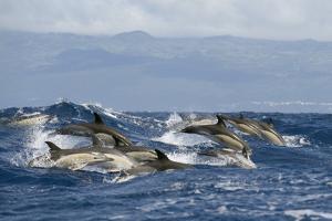 Common Dolphins (Delphinus Delphis) Porpoising, Pico, Azores, Portugal, June 2009 by Lundgren