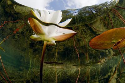 European White Water Lily (Nymphaea Alba) Flower, Bohuslän, Sweden by Lundgren