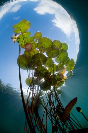 European White Water Lily (Nymphaea Alba) in Swedish Lake with Snells Window Effect, Sweden