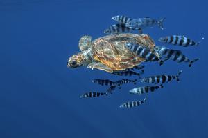 Loggerhead Turtle (Caretta Caretta) with a Shoal of Pilot Fish (Naucrates Ductor) Azores, Portugal by Lundgren