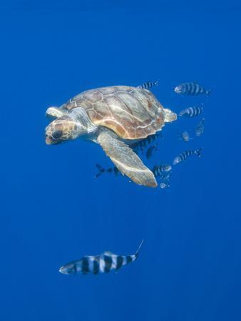 Loggerhead Turtle (Caretta Caretta) with a Shoal of Pilot Fish, Pico, Azores, Portugal, June